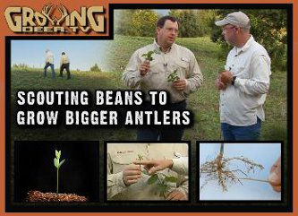 Scouting soybeans for bigger antlers